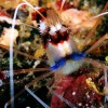 Banded Shrimp w/eggs
