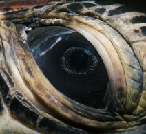 Green Turtle eye