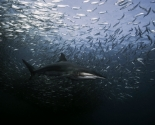 Copper Shark