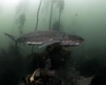 Seven Gills Shark