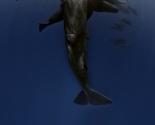Sperm Whale & Pilot Whales