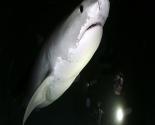 Tiger Shark at Night
