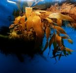 Kelp Patch - Pacific Ocean