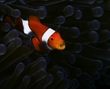 False Anemone Fish