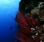 Black Coral - Fiji