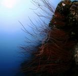 Black Coral - Micronesia