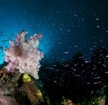 Soft Coral - Thailand