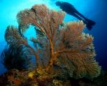 Sea Fan - Tonga