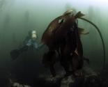 Kelp - South Africa