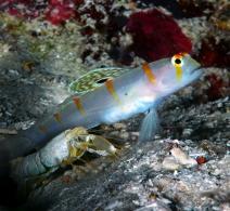 Goby Shrimp
