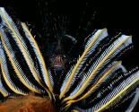 Lion Fish in Crinoid